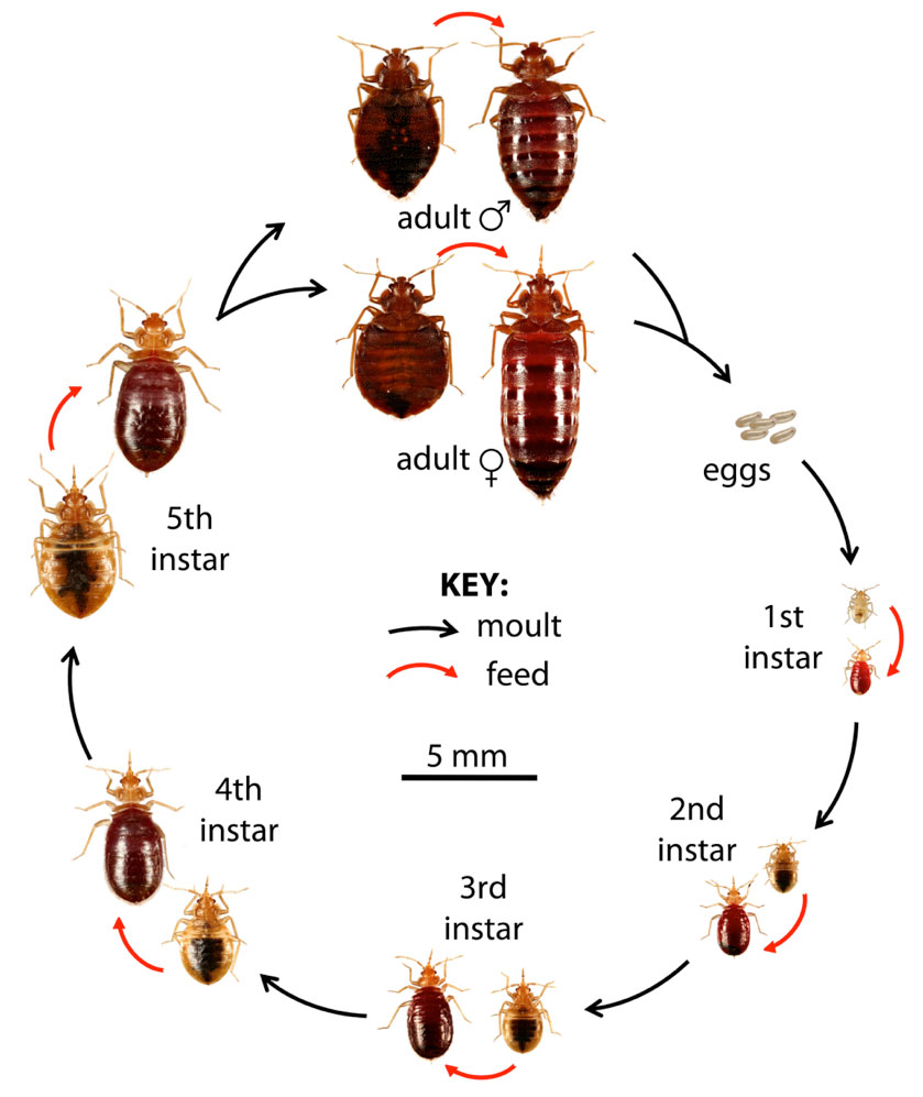 The whole bed bugs life cycle