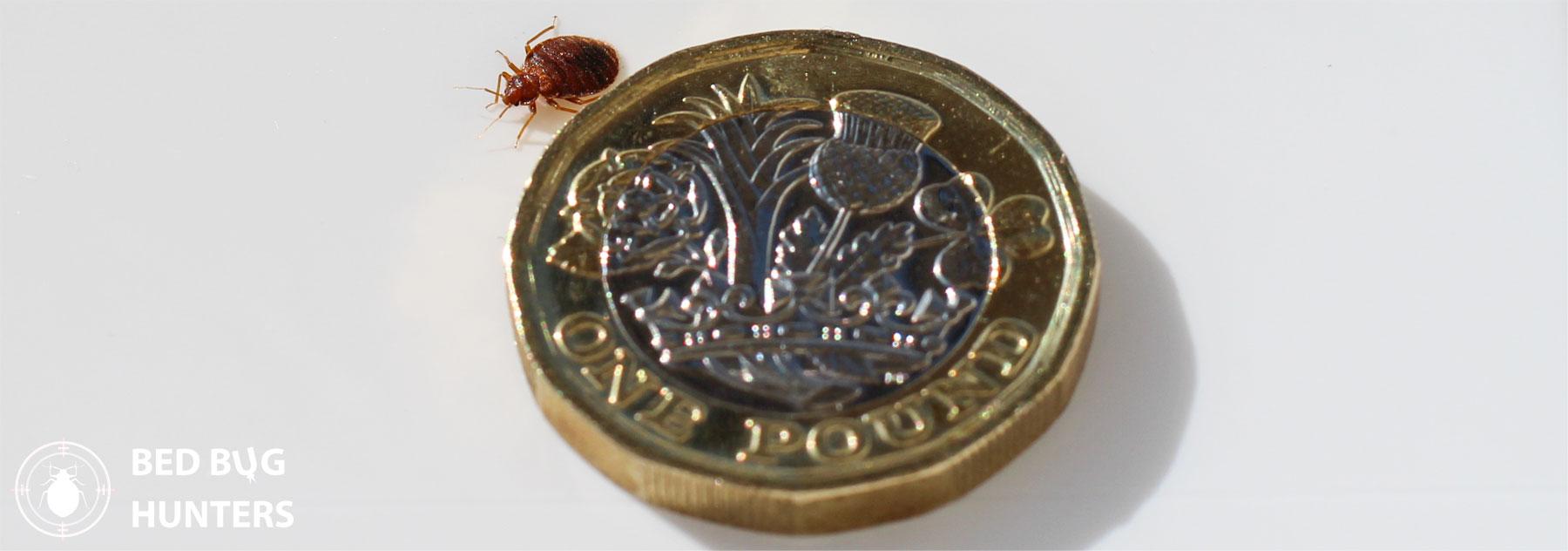 bed-bug-macro-pound-coin